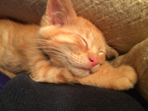 George, Sharon's red tabby kitten