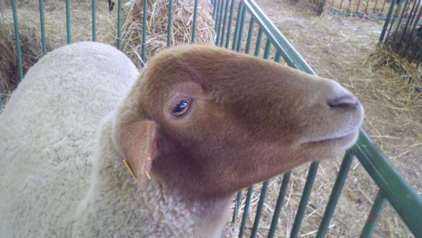 Picture of a sheep with white fleece and brown face.